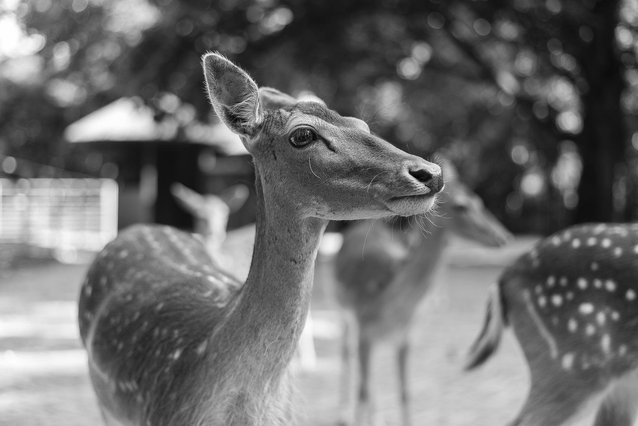 deer portrait - black and white photograph