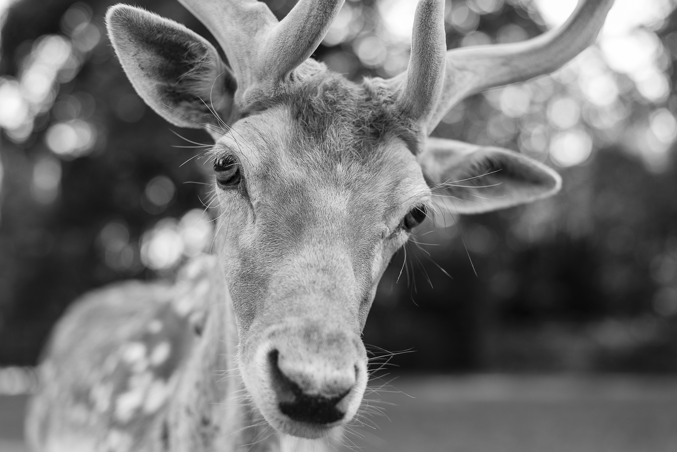 deer portrait close up - black and white photography