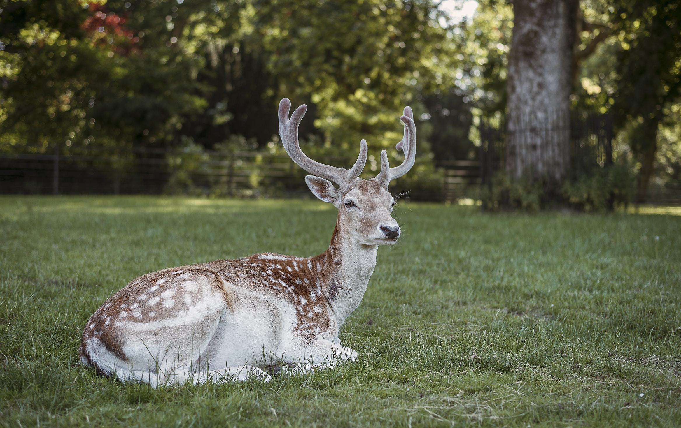 deer resting at park