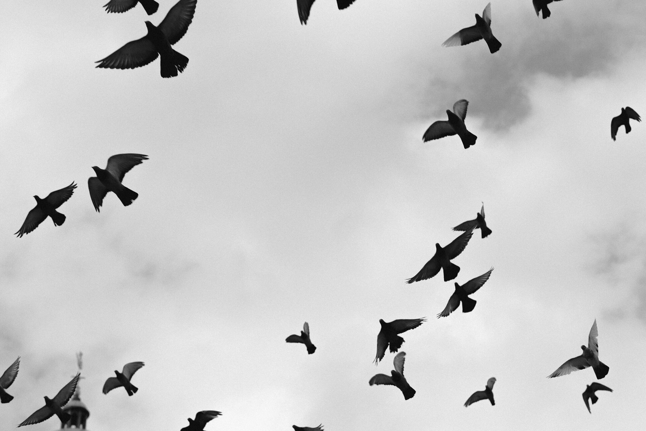 black and white photograph vintage birds flying sky