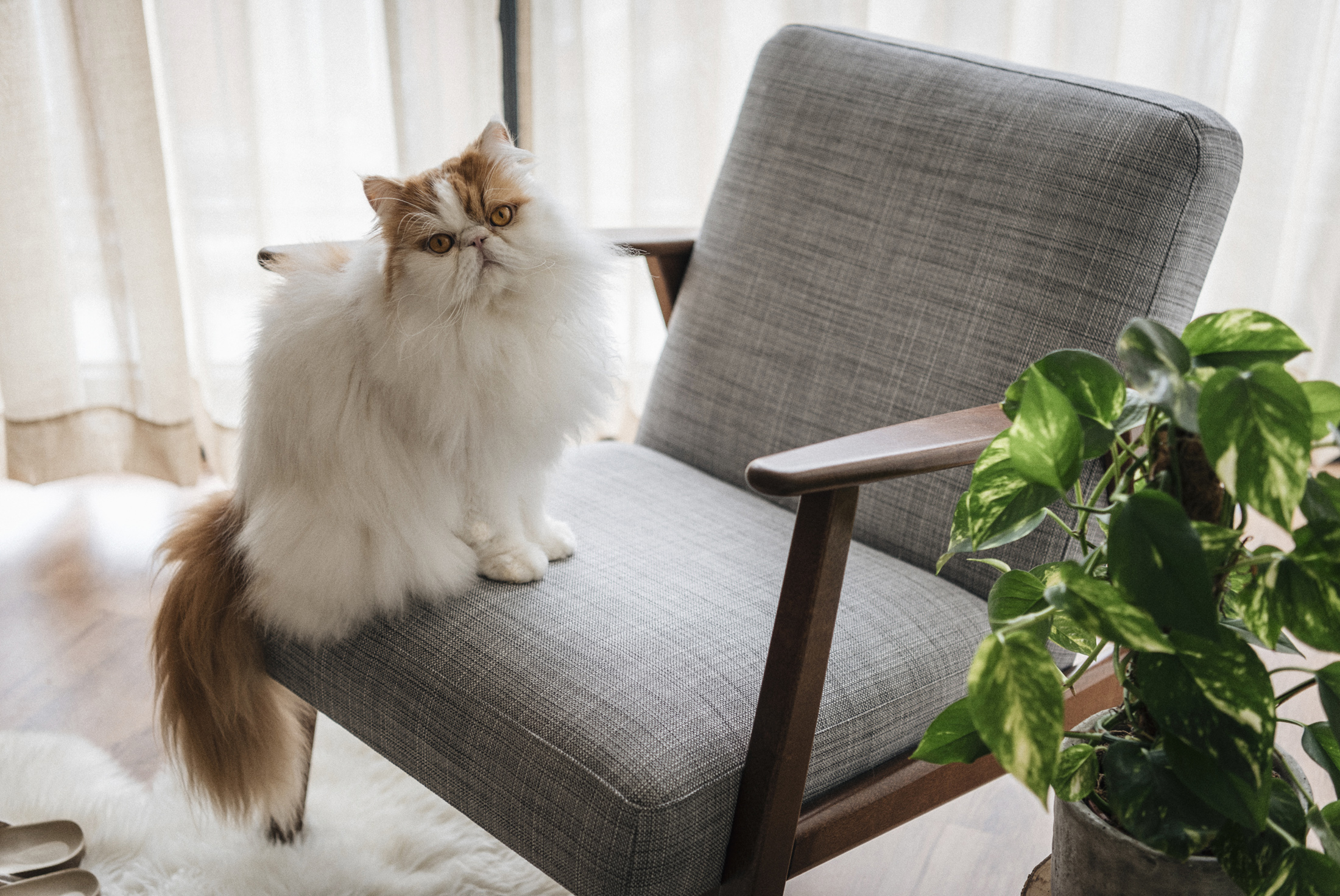 pet cat persian still home photography