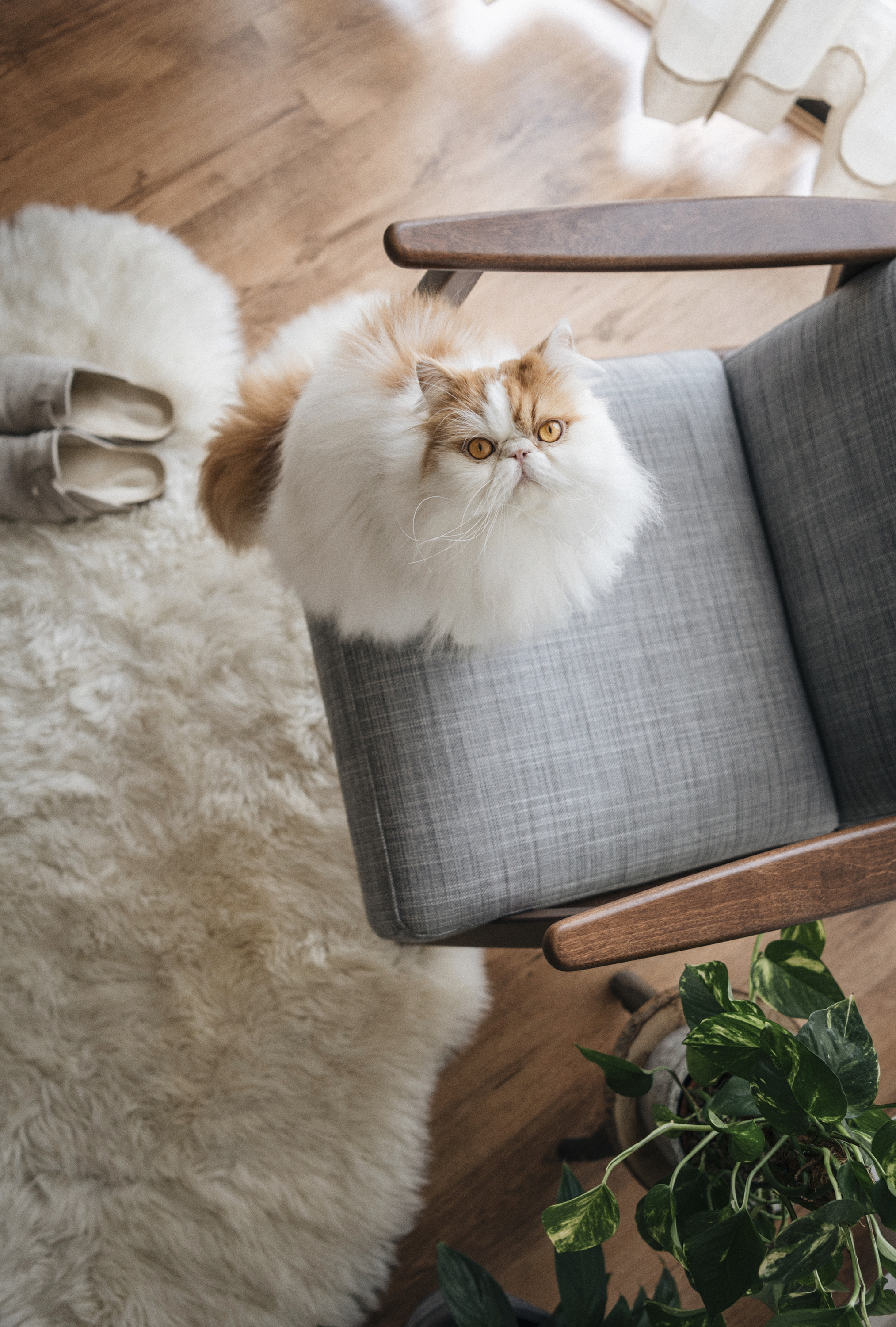 home still persian cat chair photography pet portrait