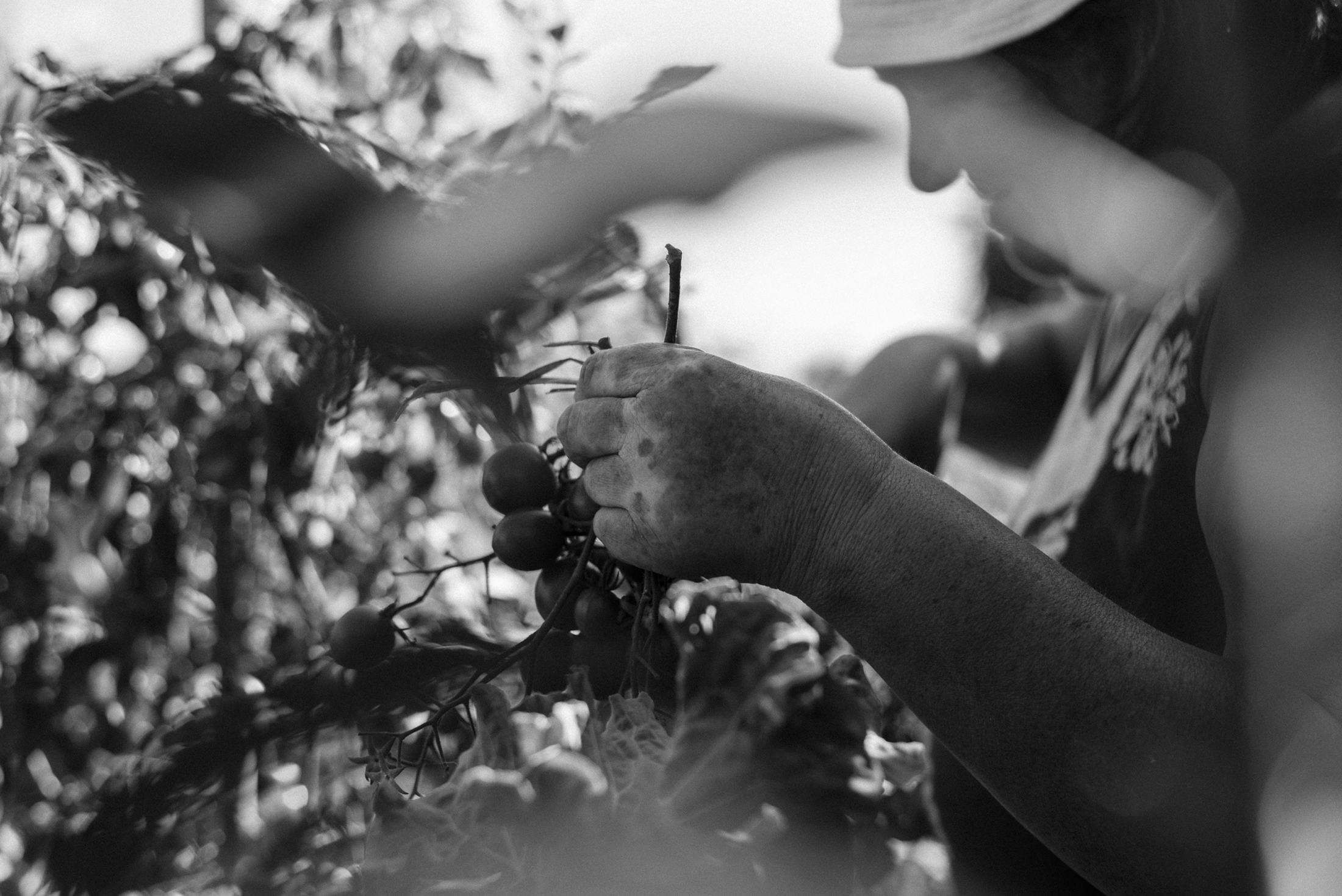 black and white photograph old lady picking tomatoes at farm biological hand close-up