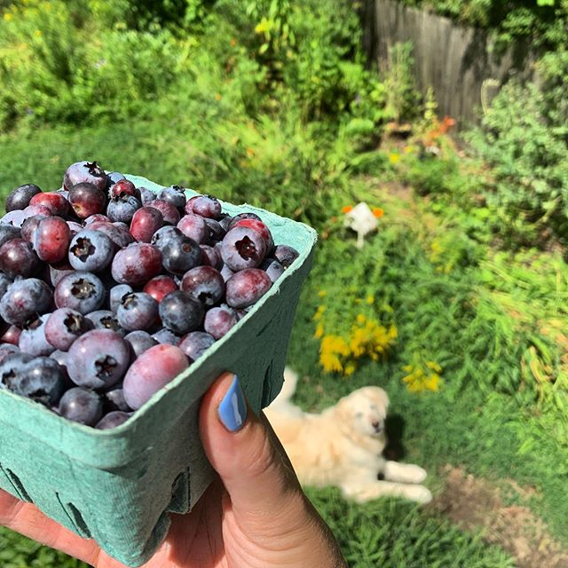 Freshly picked summer bluebs!