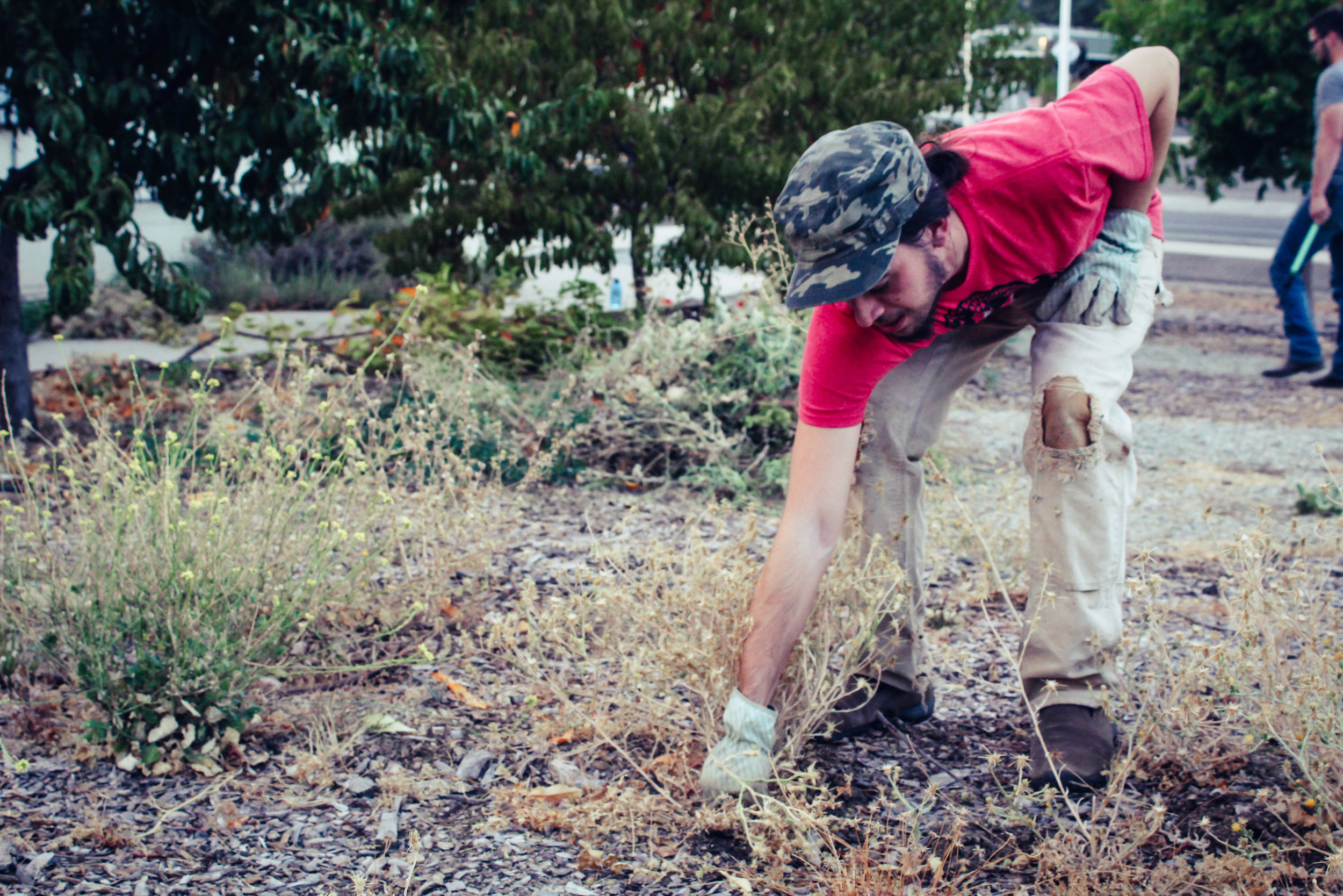 Aaron pulling weeds at the Evening Garden Party at Heritage Community Garden is Shasta Lake.