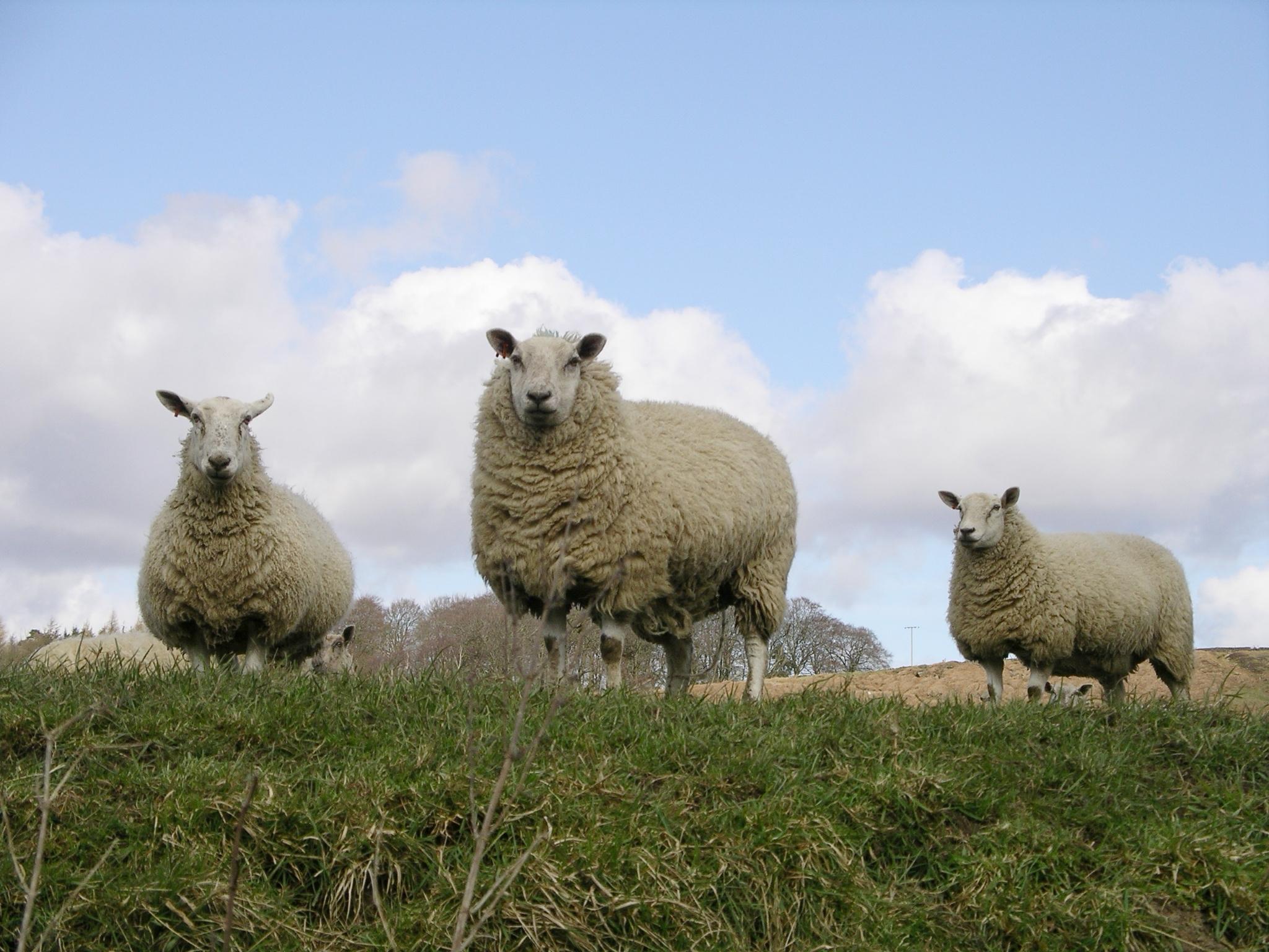sheep-1568339.jpg