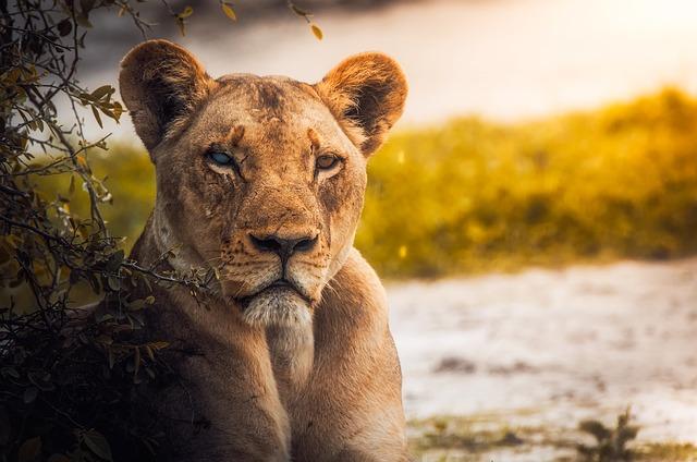 www.maxpixel.net-Lion-Female-Animal-Wildlife-Botswana-Lioness-2263345.jpg