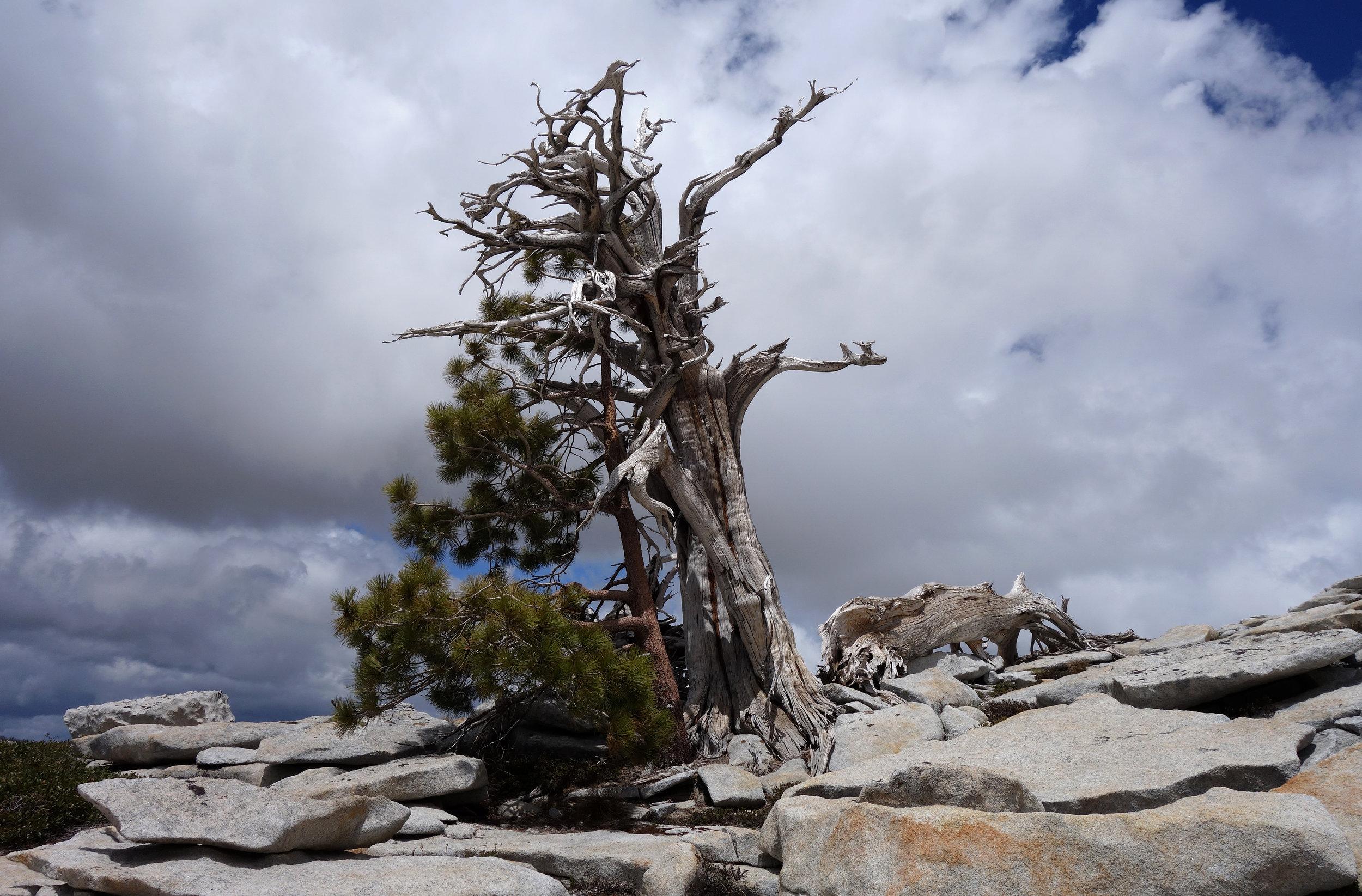 dead juniper with mountain pine.jpg