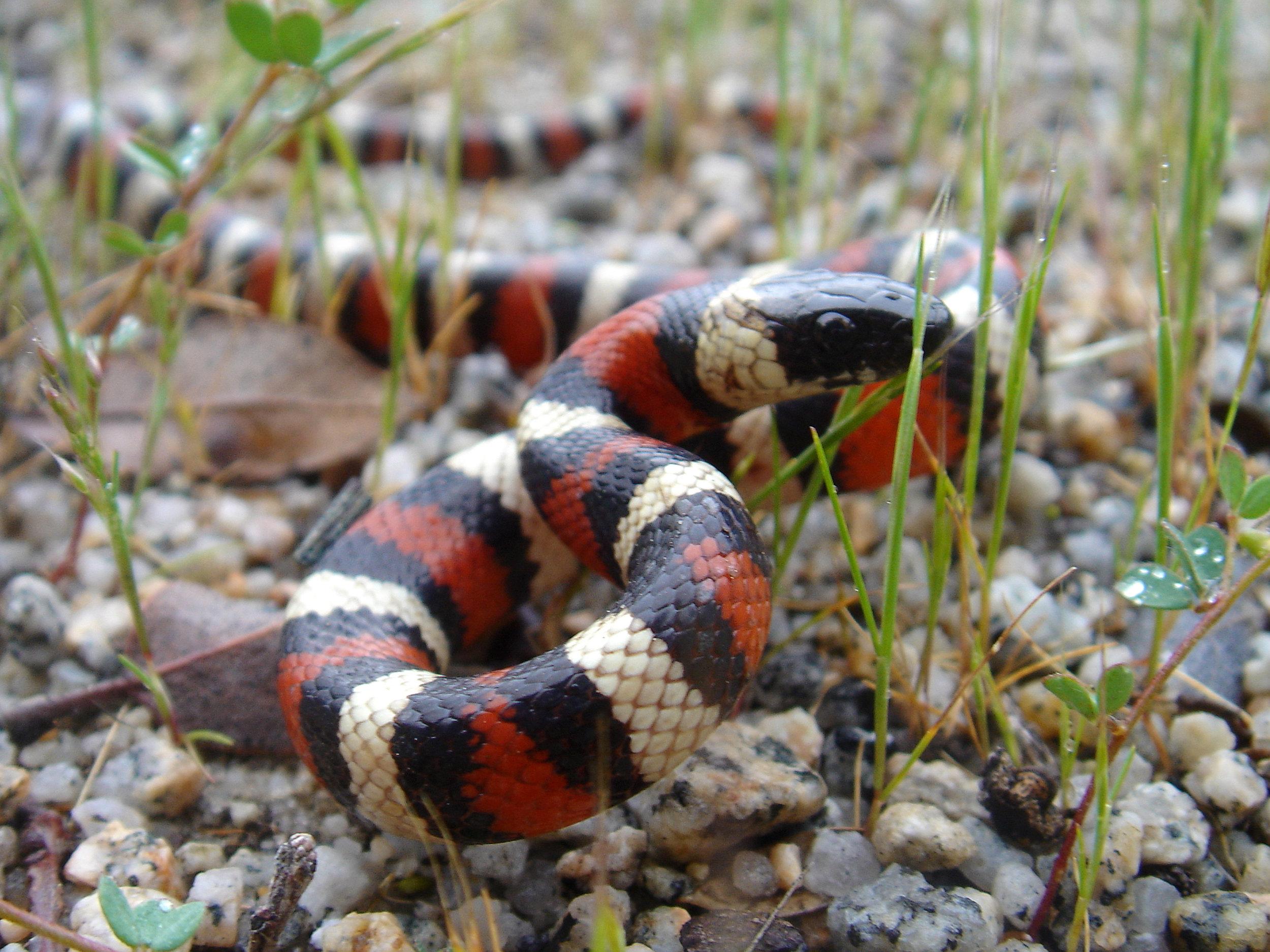 mountain king snake.jpg