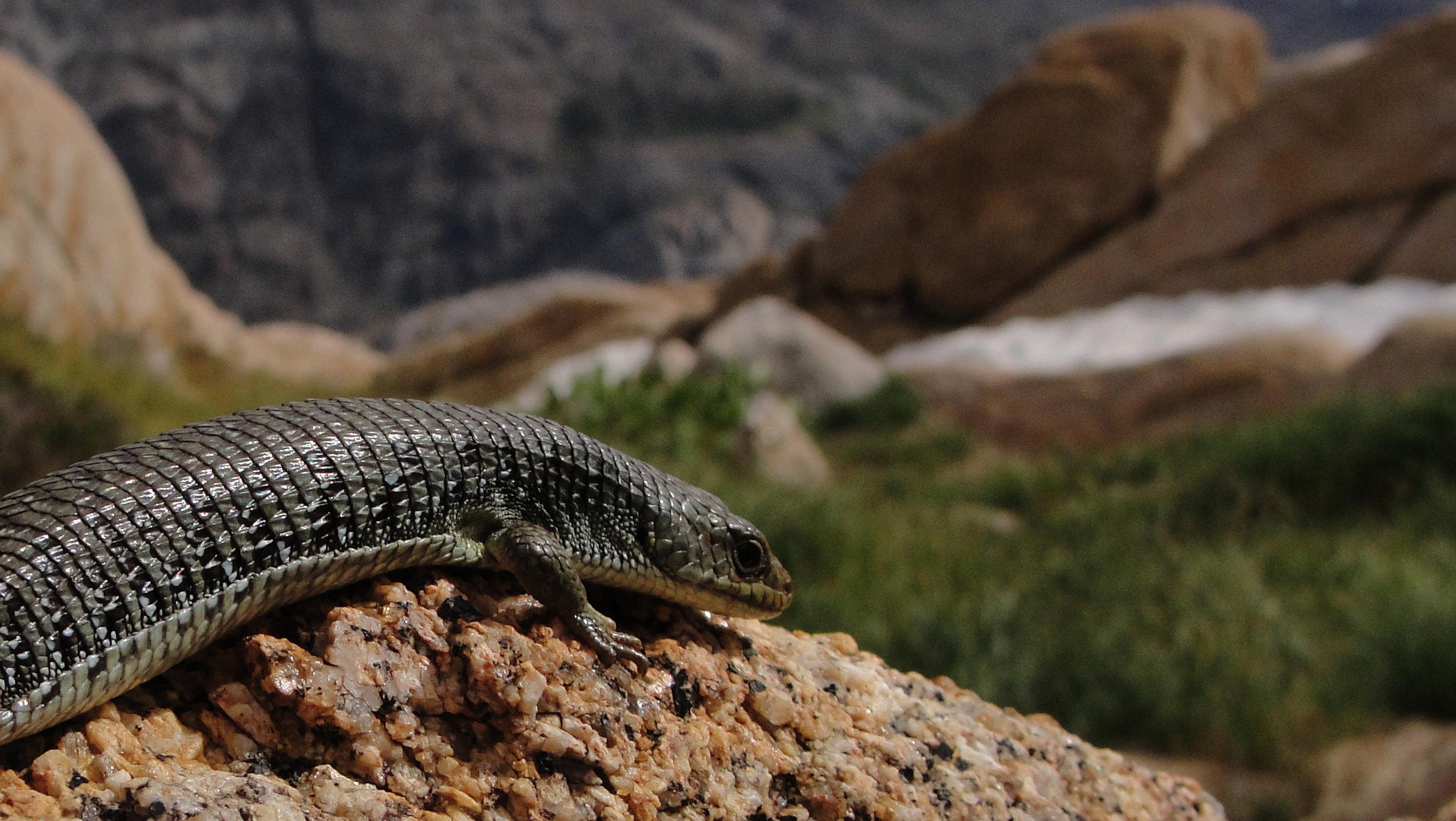 alligator lizard.jpg