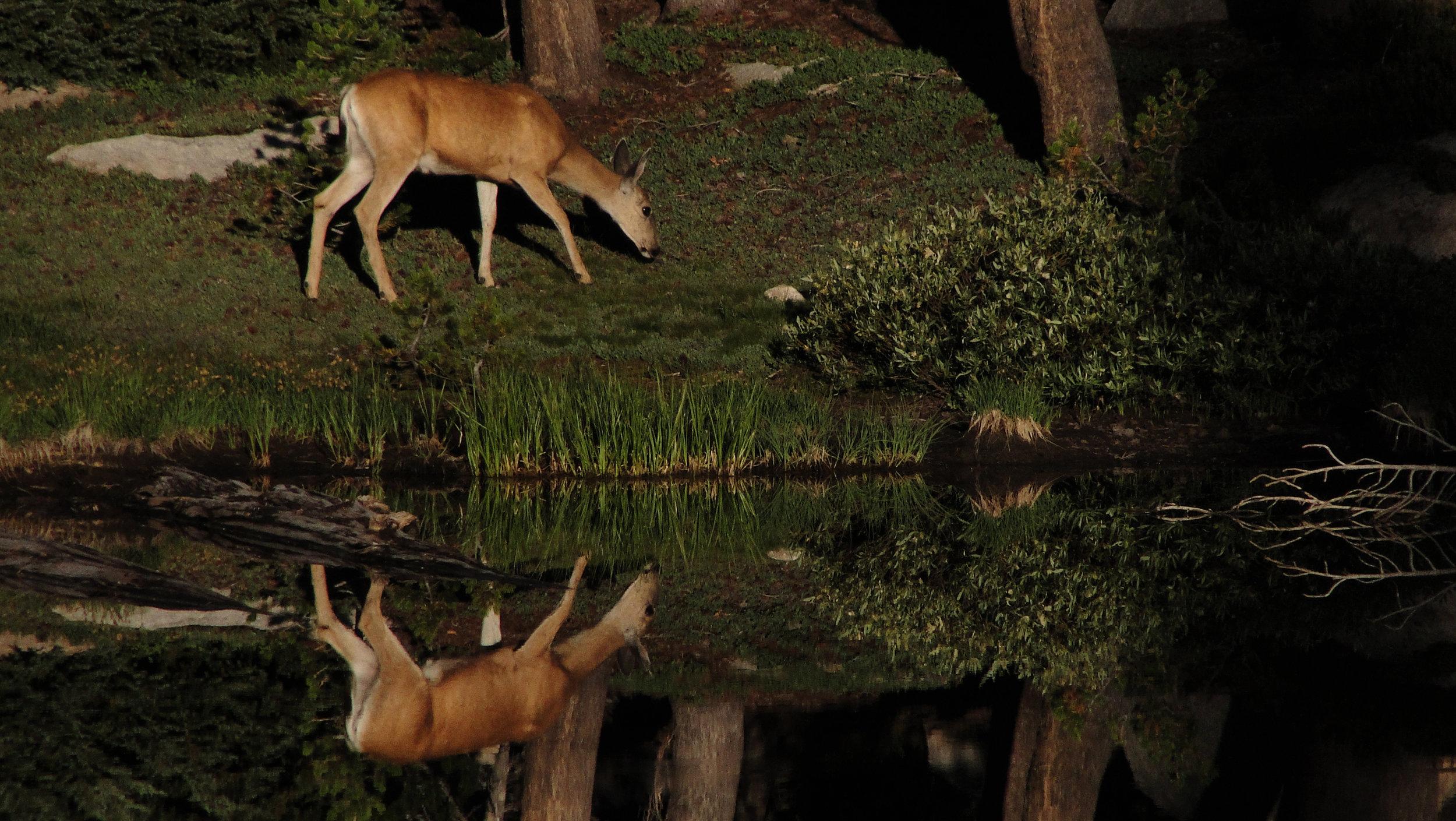 deer reflection.jpg
