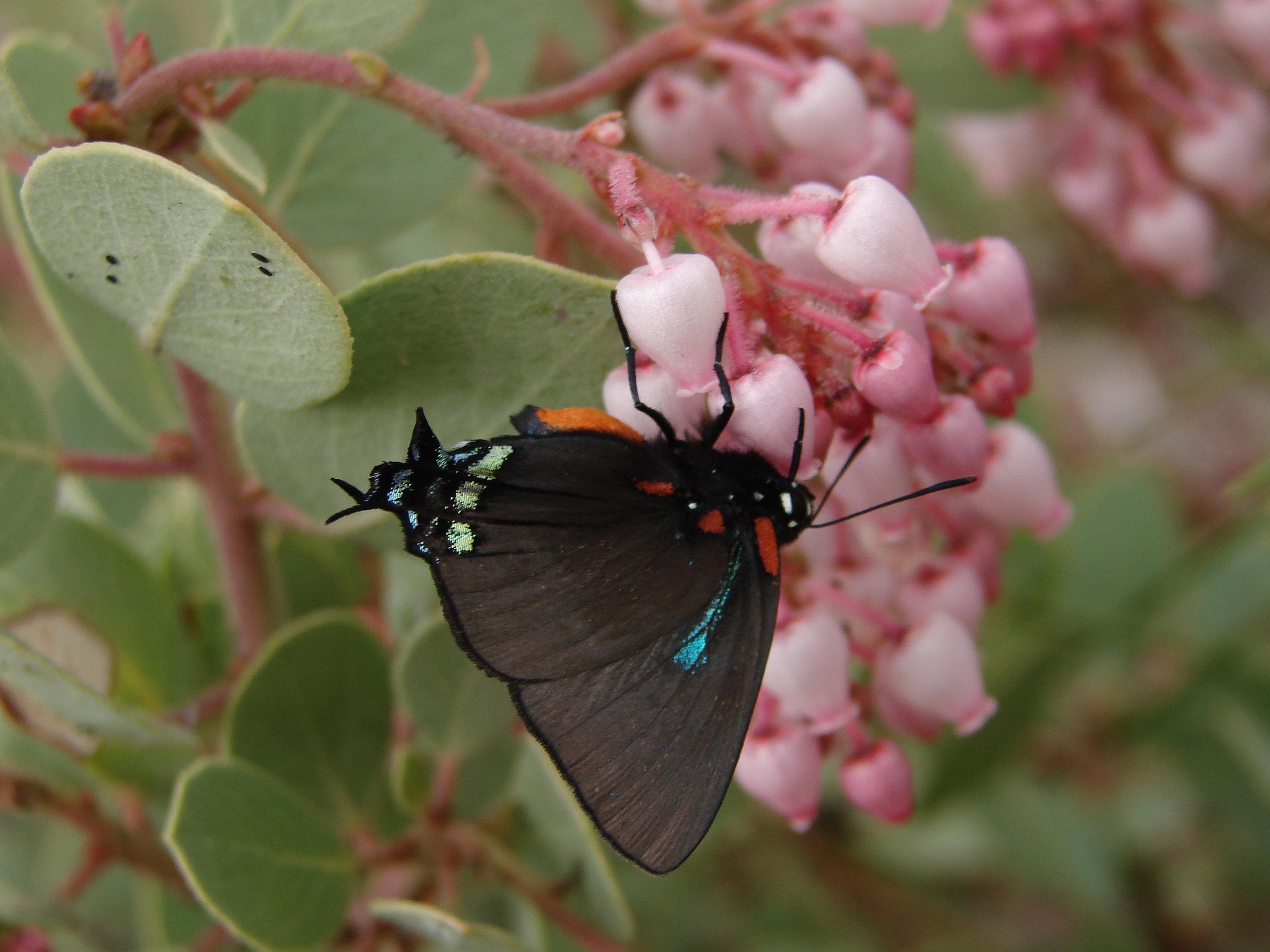 butterfly on manzanita flower.jpg