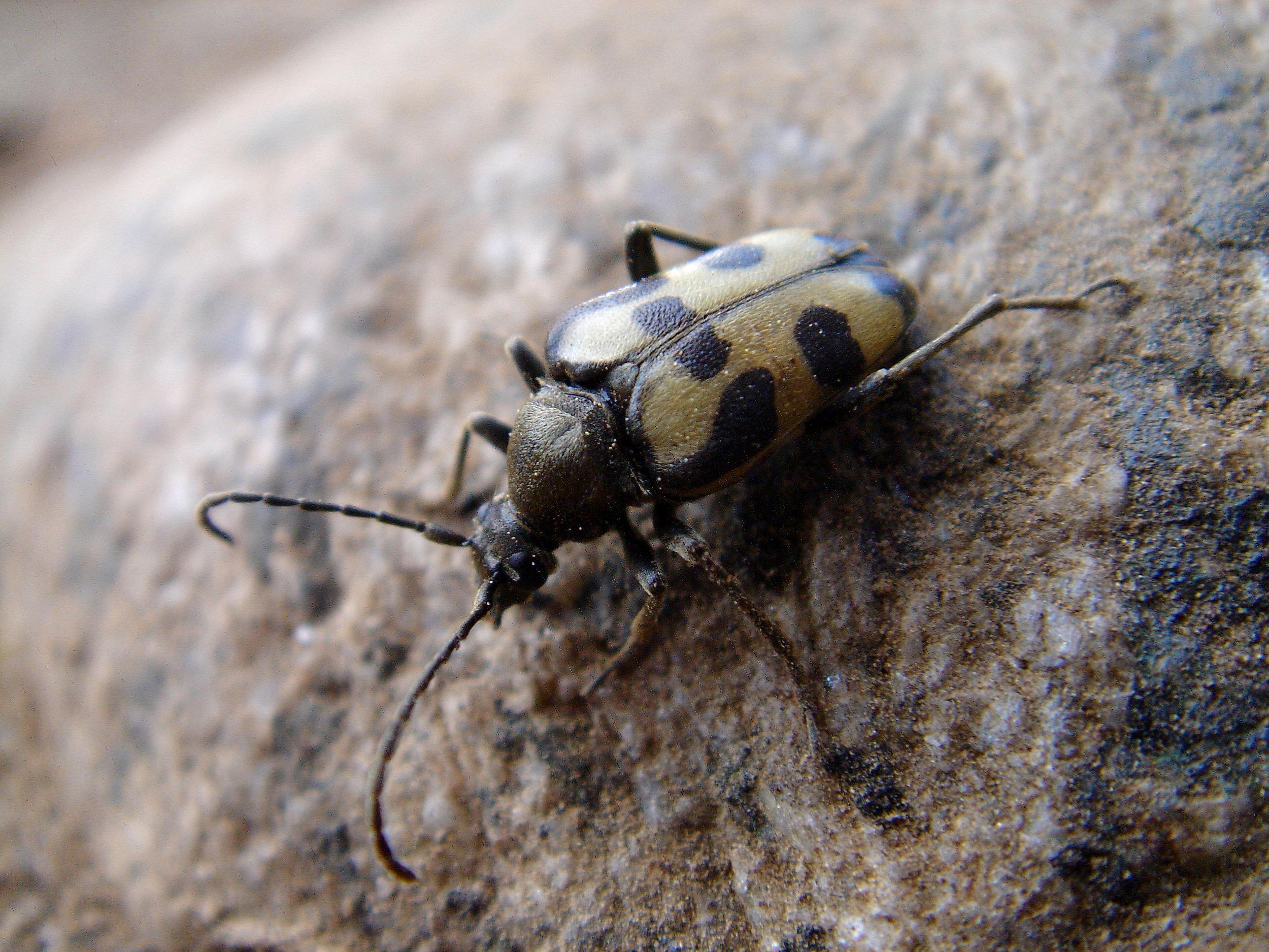 long horned beetle.jpg