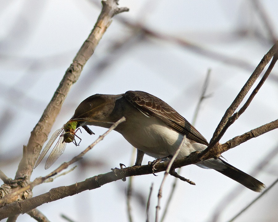flycatcher_with_dragonfly?_sm.jpg