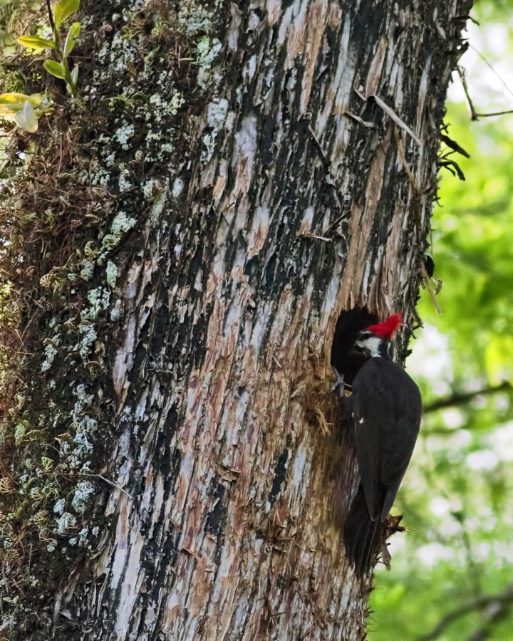 pileated_investigating_sm.jpg