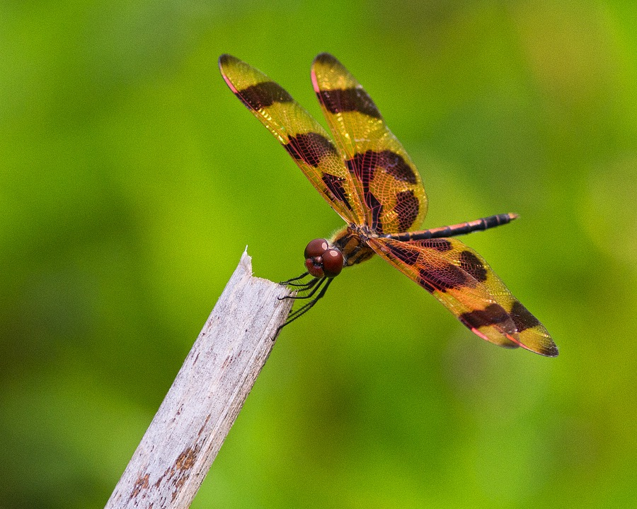 brown_spotted_yellow_winged_dragonfly_sm.jpg