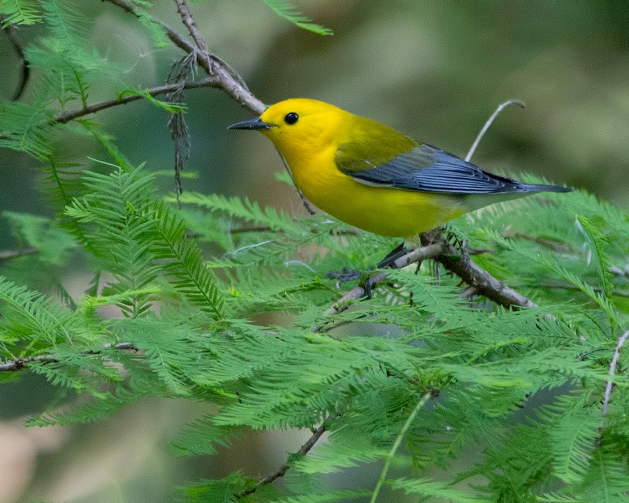 prothonotary_warbler_sm.jpg