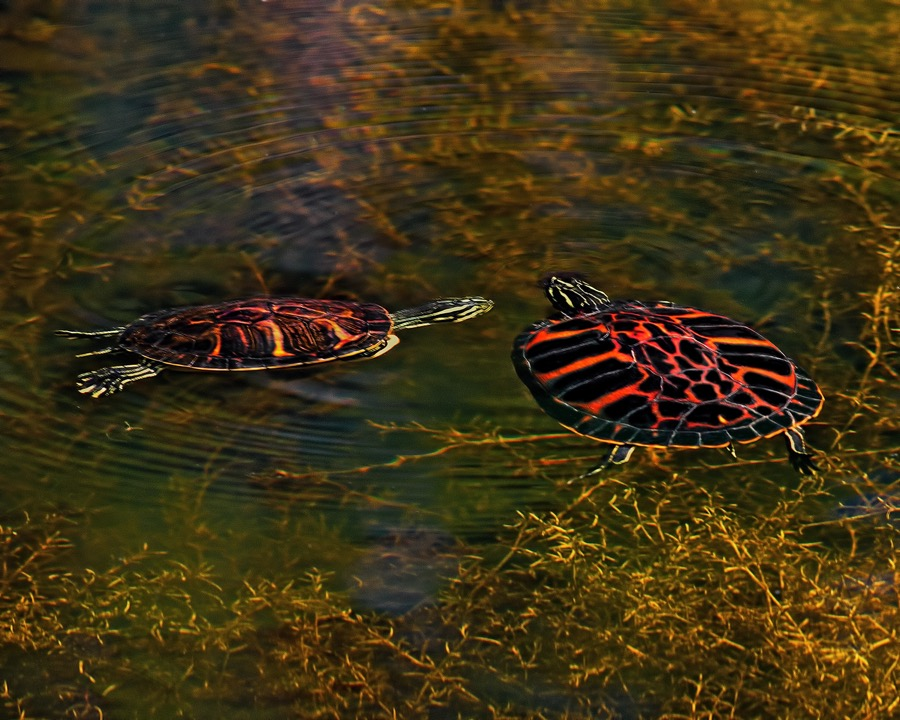 redbellied_cooter_turtles_sm.jpg