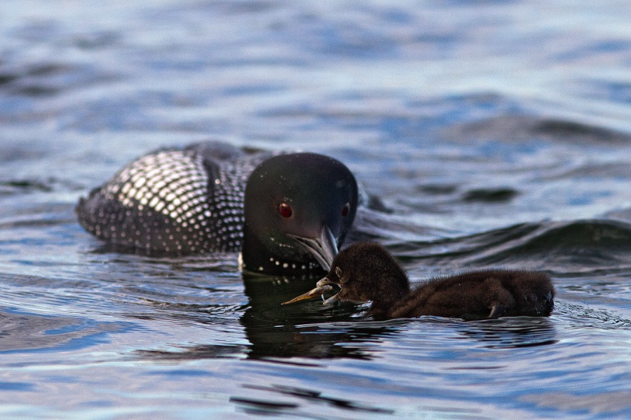 loon_feeding_baby_open_mouth_sm.jpg