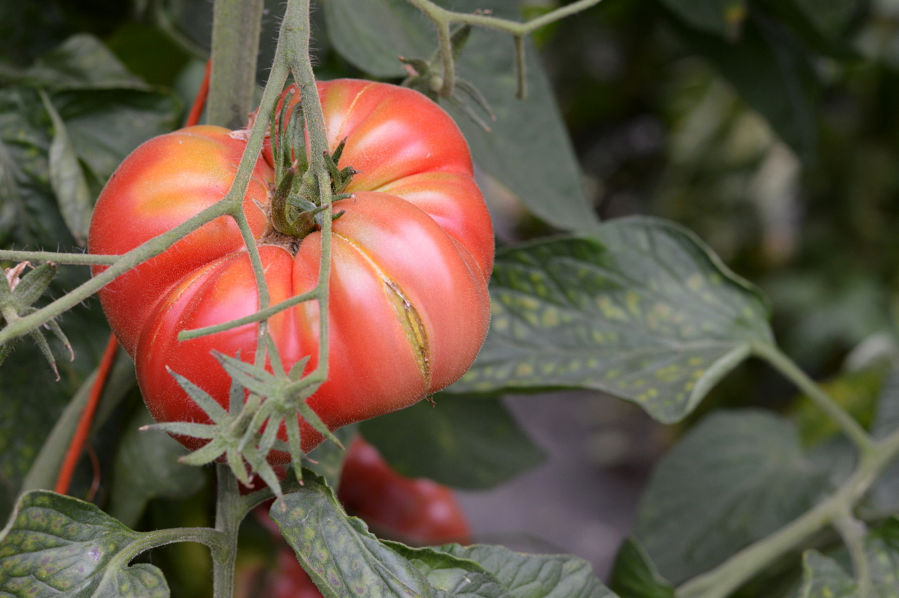Heirloom tomato sauce is on the menu this week! (Photo by Claire Burnett)