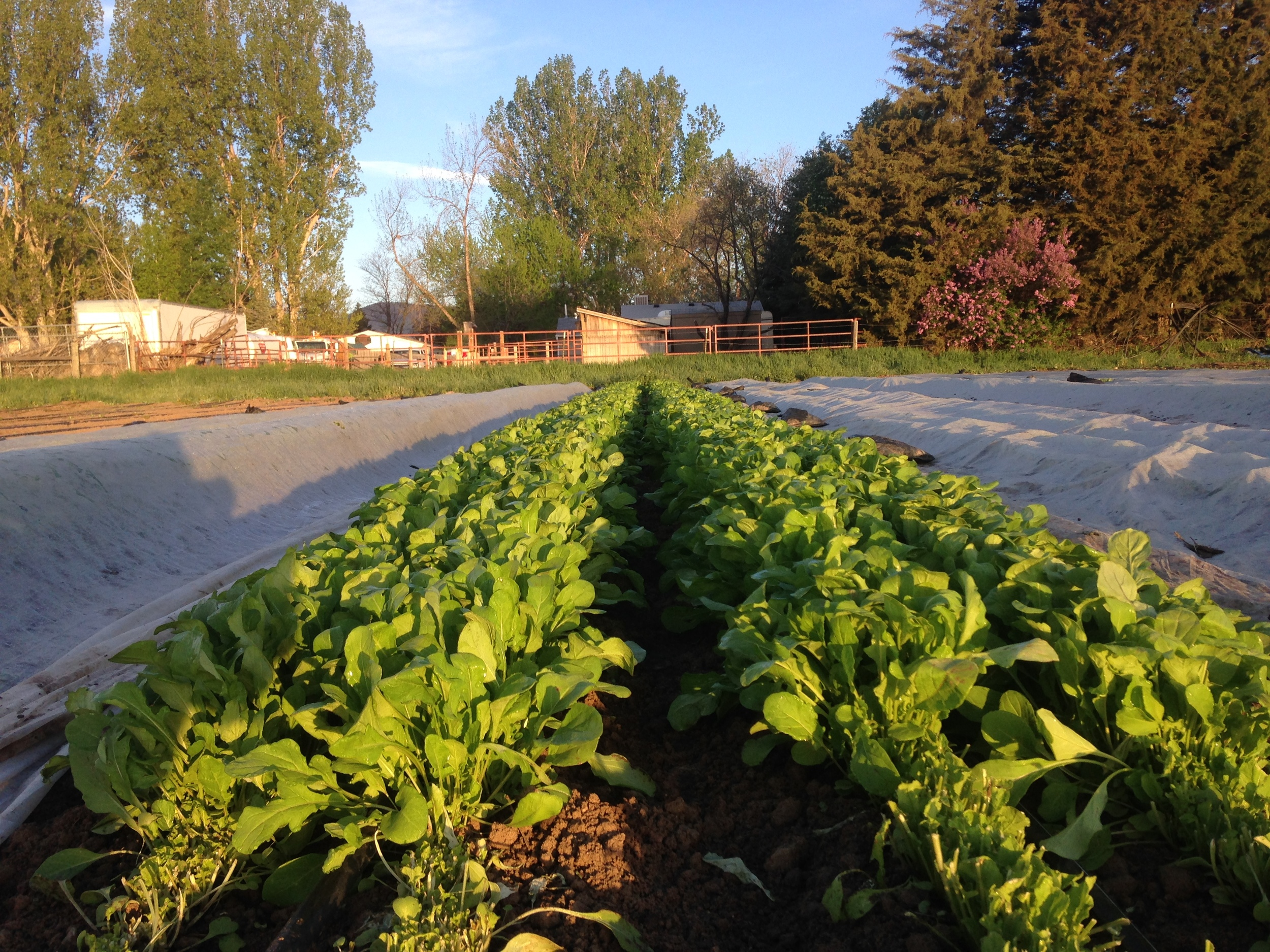 Early morning arugula harvest at Native Hill Farm. (Photo by Farmer Grace)