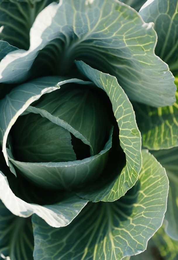 The cabbage is looking beautiful these days!