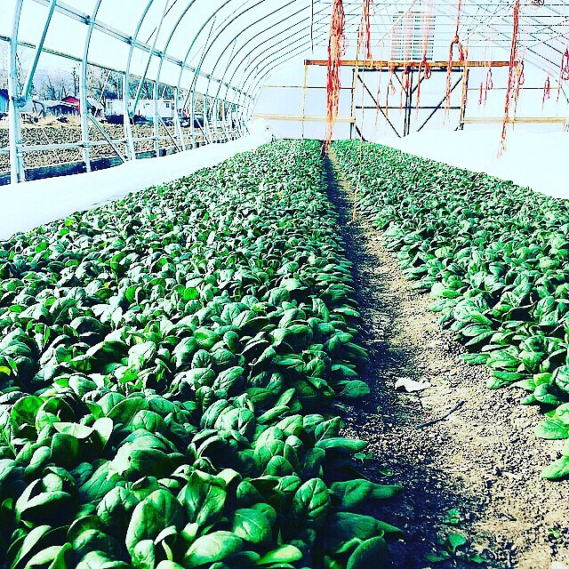 Last of the spinach stocked @meohmycoffeeandpie we will see y'all in 2020  bigger, better, healthier, rested and ready to feed our community good food for the long haul. Thanks for your support #nativehillfarm #foodbuildscommunity #sorryforallthegroceryproduceyouhavetoeatthisyear