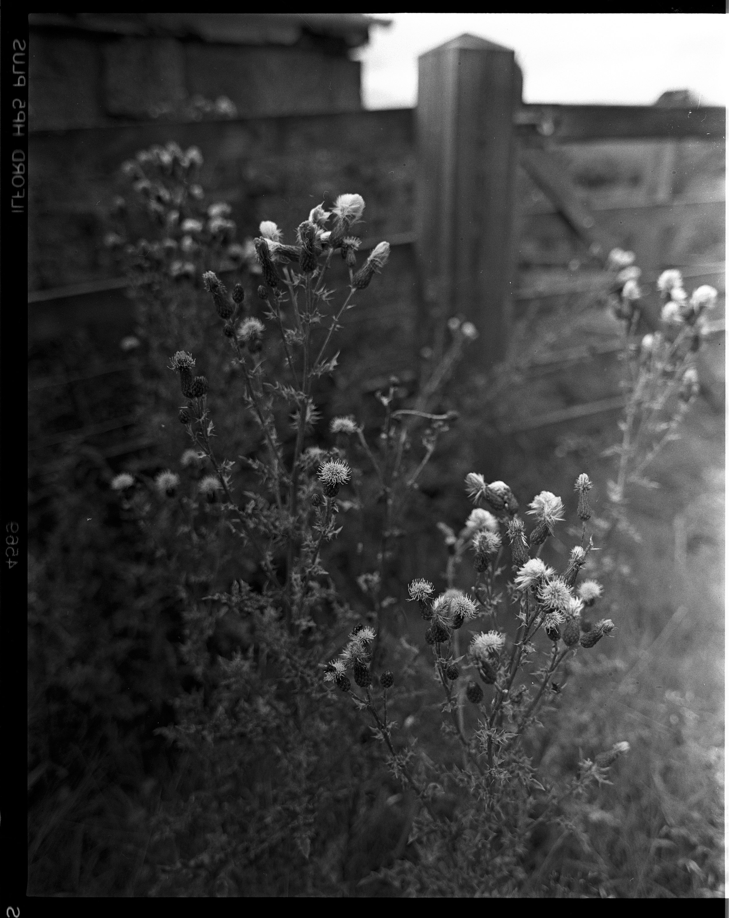 Thistle near the backdoor Ilford HP5, Pentax 67