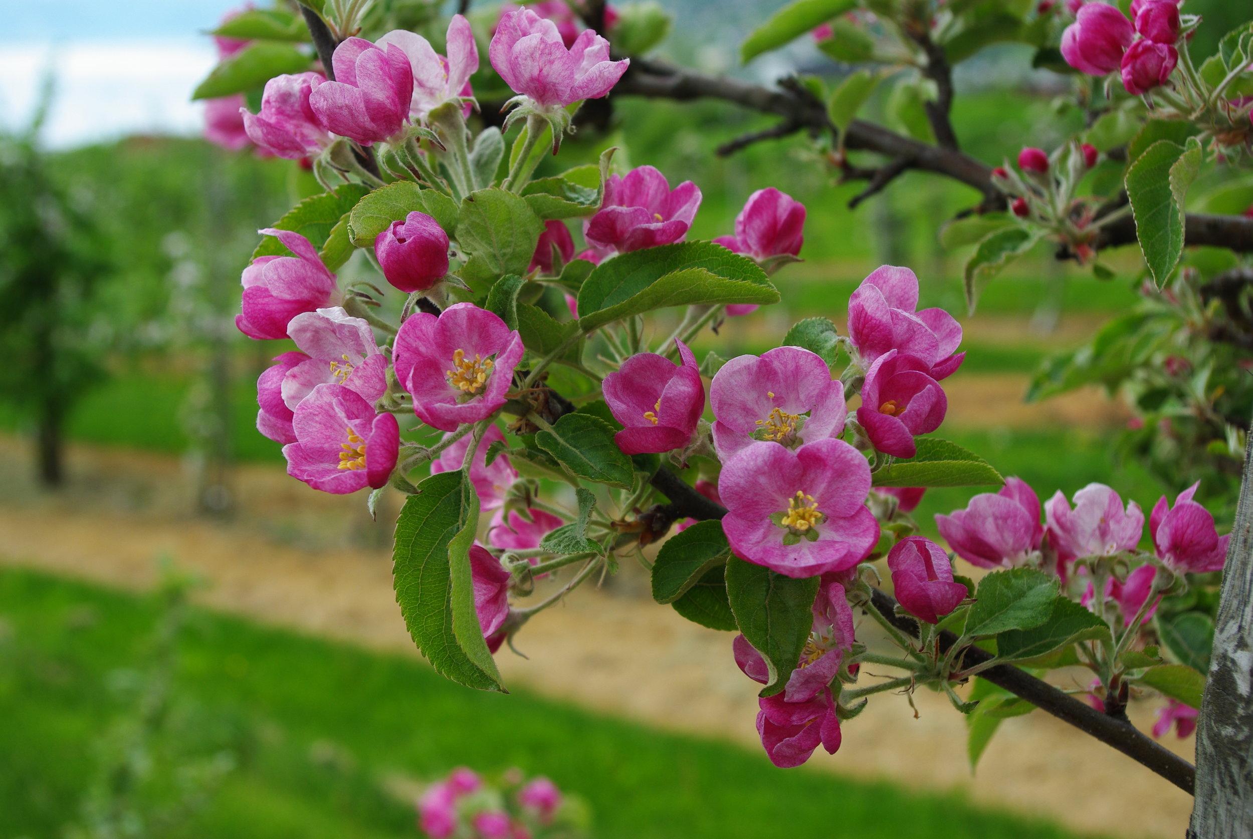 Pink Pearl blom.JPG