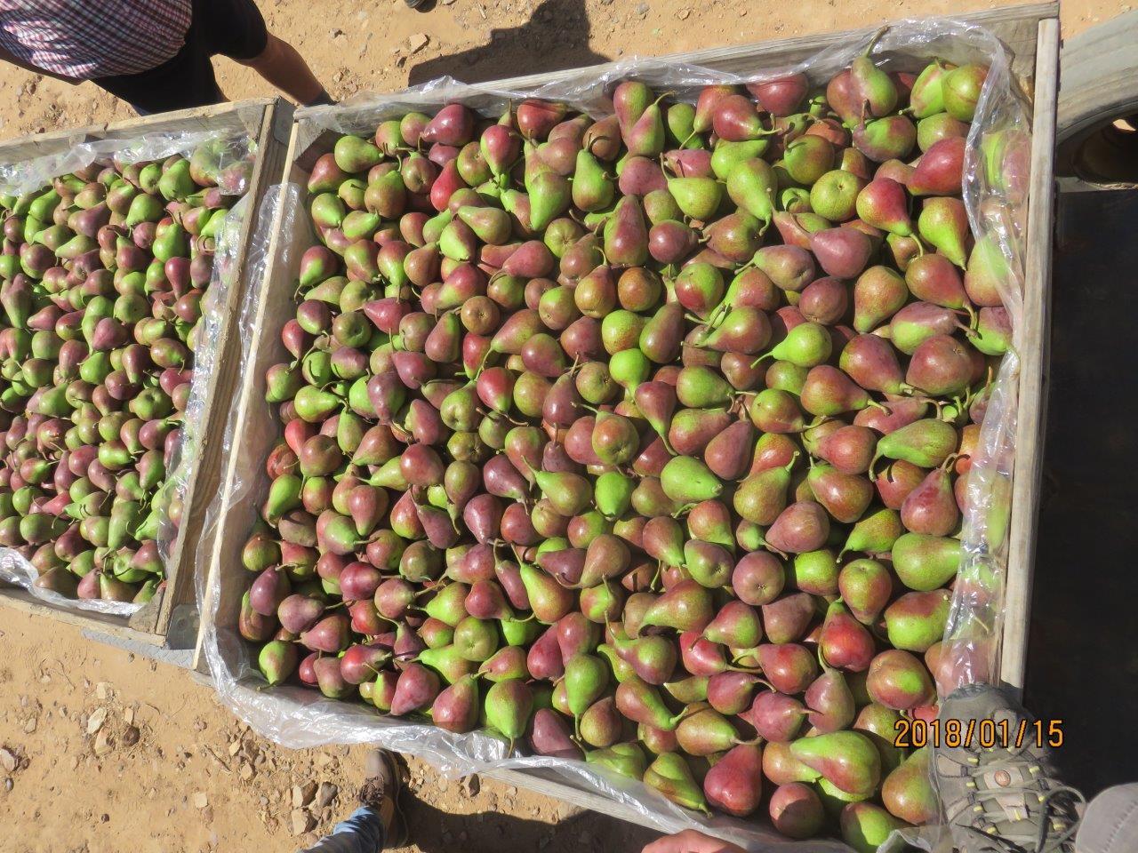 Høsting av Celina i South Africa
