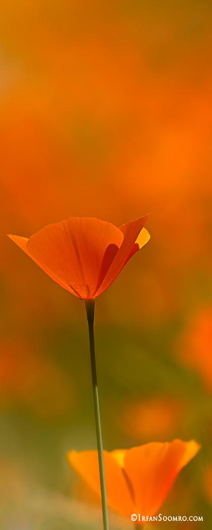 Poppy Love - Tall