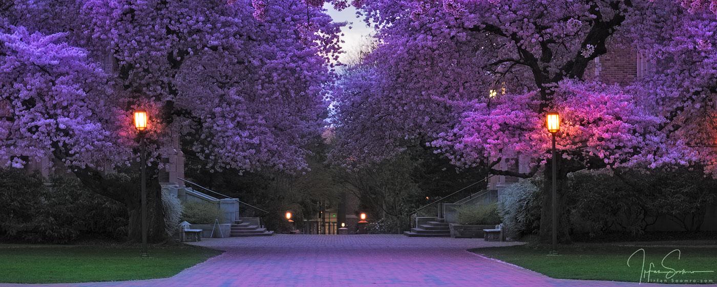 Purple Rush - Panorama