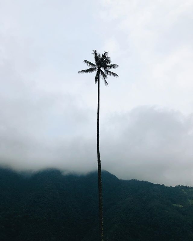 A little fact: this has been the screensaver on my iphone for four months now, since i took this photo in Valle de Cocora, Colombia. One of the most beautiful places I have visited. 🌴  Summer holiday season is about to start in the Netherlands, which means busy times for 'us' in the wedding business. But hell yeah, i love my job. And I'm more than happy to work hard in summer so I can play hard during winter. 💛  #whenincolombia #visitcolombia #palmporn #valledecocora #travelgram #travellust #wanderlust #travelvideography #travelwakesupyourbrain #workhardplayharder