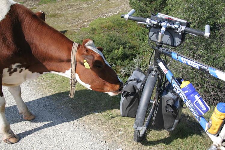 sykkeltur-grimsdalen-snusende-ku.jpg