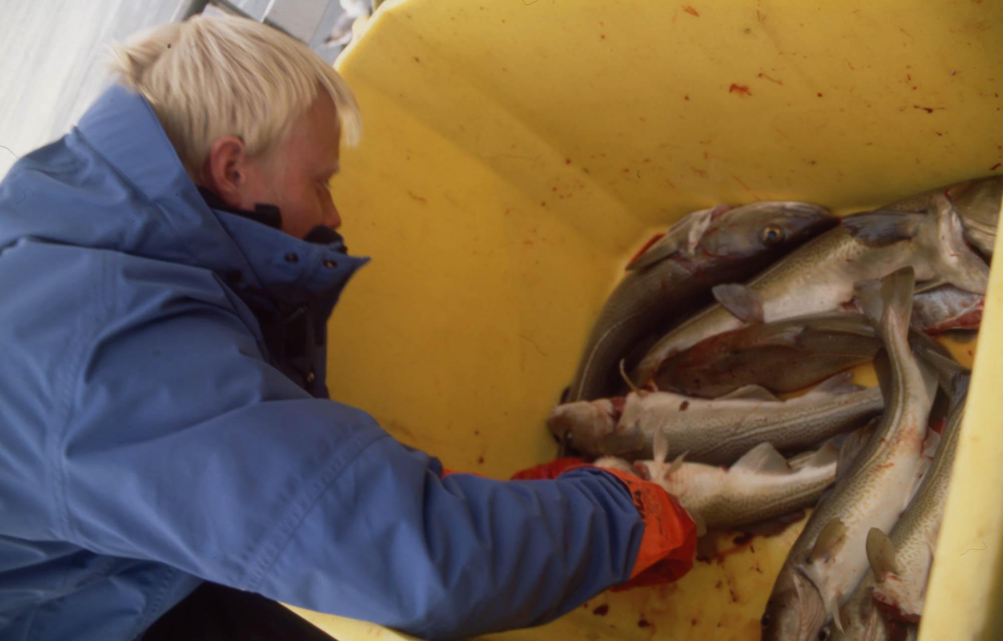 Fangsten av stor torsk lot ikke vente på seg da vi fikk ble med et par lokale fiskere ut på fjorden ved Olafsvik.