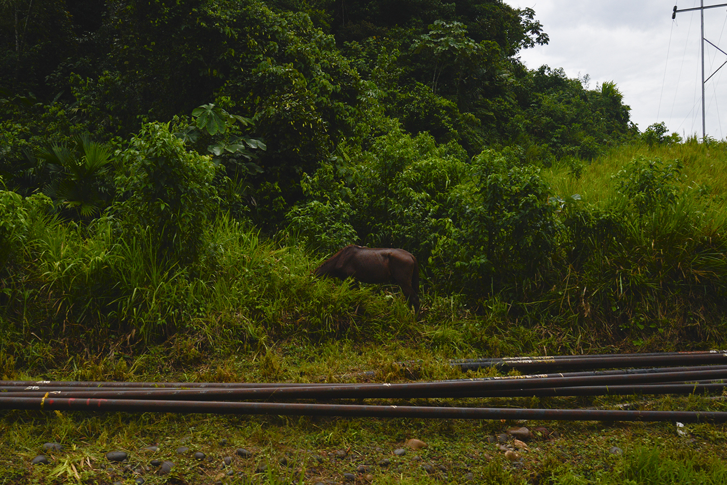 ECUADOR, Orellana Province. December 2015.  Horse grazing along oil pipelines in the El Auca road. The 60 miles long road was built in the 1970s by Texaco to move its drilling equipment to the deepest part of the Ecuadorian rainforest.