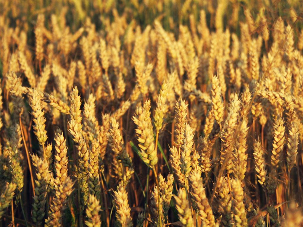 wheat 2.jpg