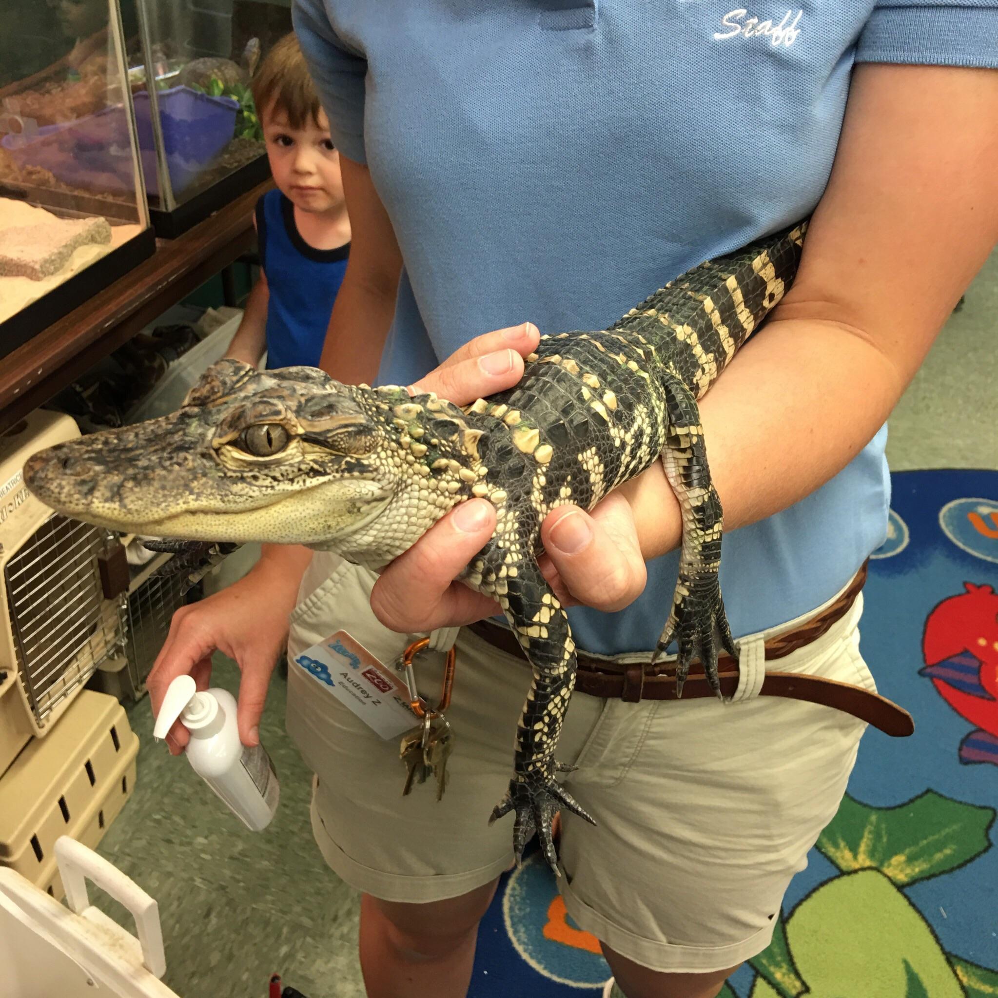 Everyone pet the alligator!