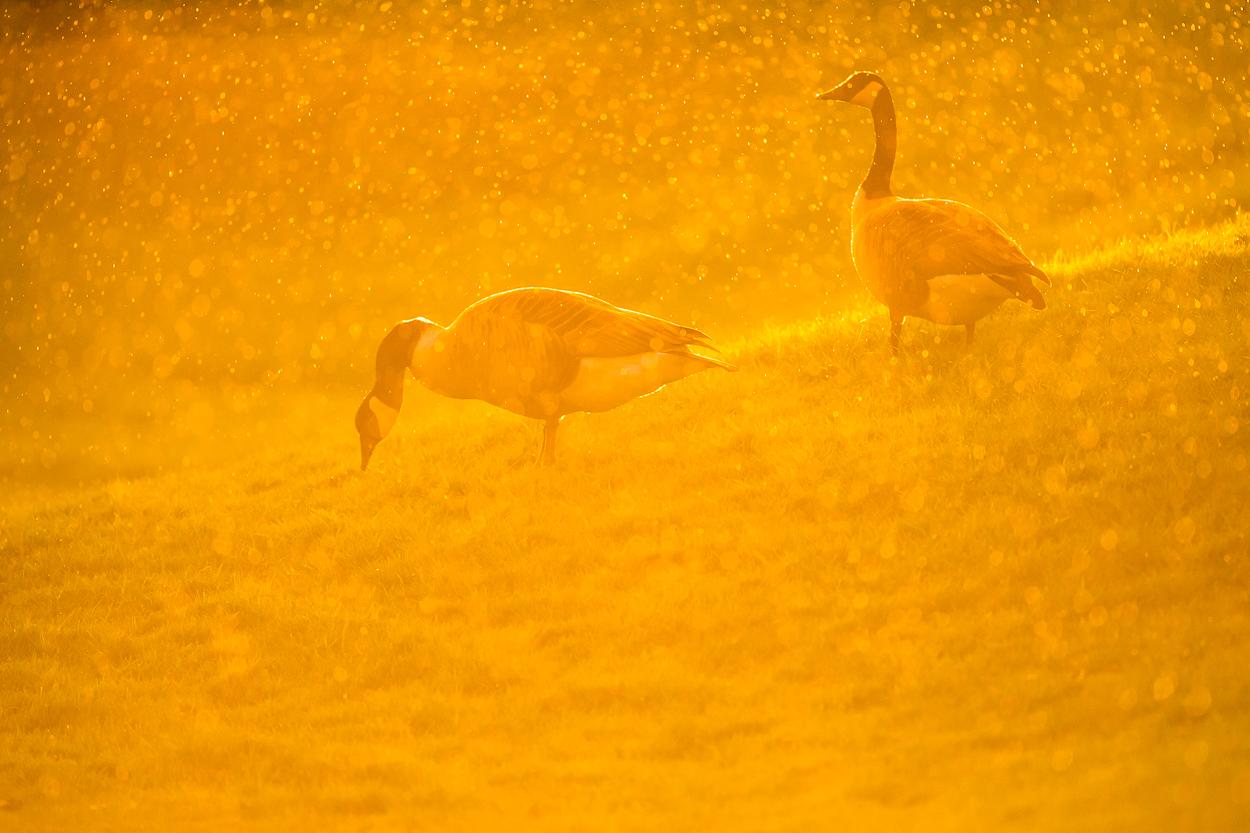 canada-geese_21.jpg