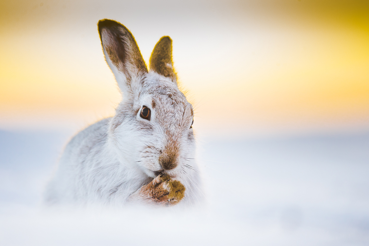 Mountain hares SHOWCASE - Mountain Hares, are native to the UK and since the last Ice Age have made the high hills and mountains of Scotland home. Step into the world of these elusive creatures and see their lives through Kevin's images