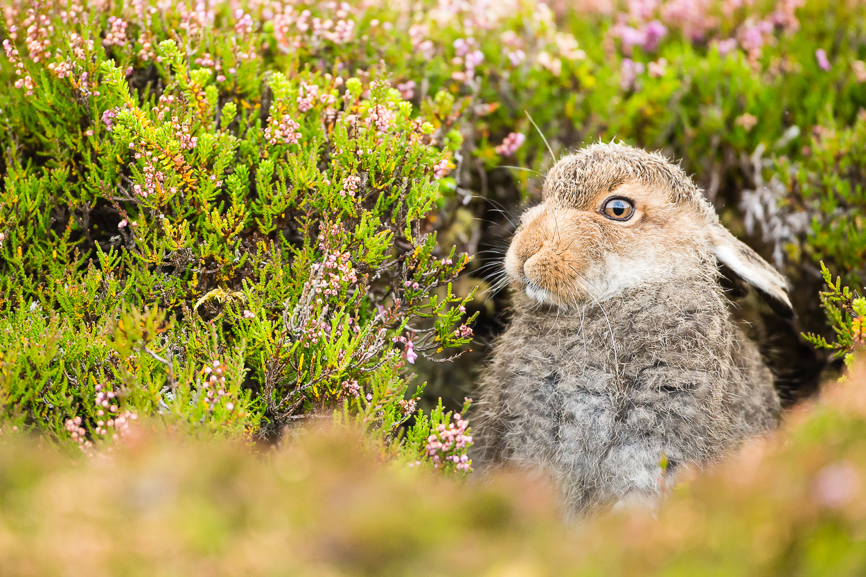 HIGHLANDS IN BLOOM - This is a unique opportunity to photograph mountain hares not only in their Summer coats but also in the beautiful blooming purple heather. At the best location in Scotland under Kevin's tutelage he will guide you to the best spots where you'll be able to capture a wide range of amazing images