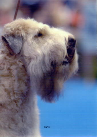 Morgen AKC head shot.jpg