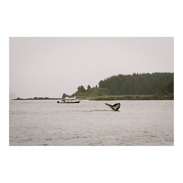Flame the humpback whale at her summer home in #alaska shot on a vintage #yashicafx3  Summer, 2018.  #film