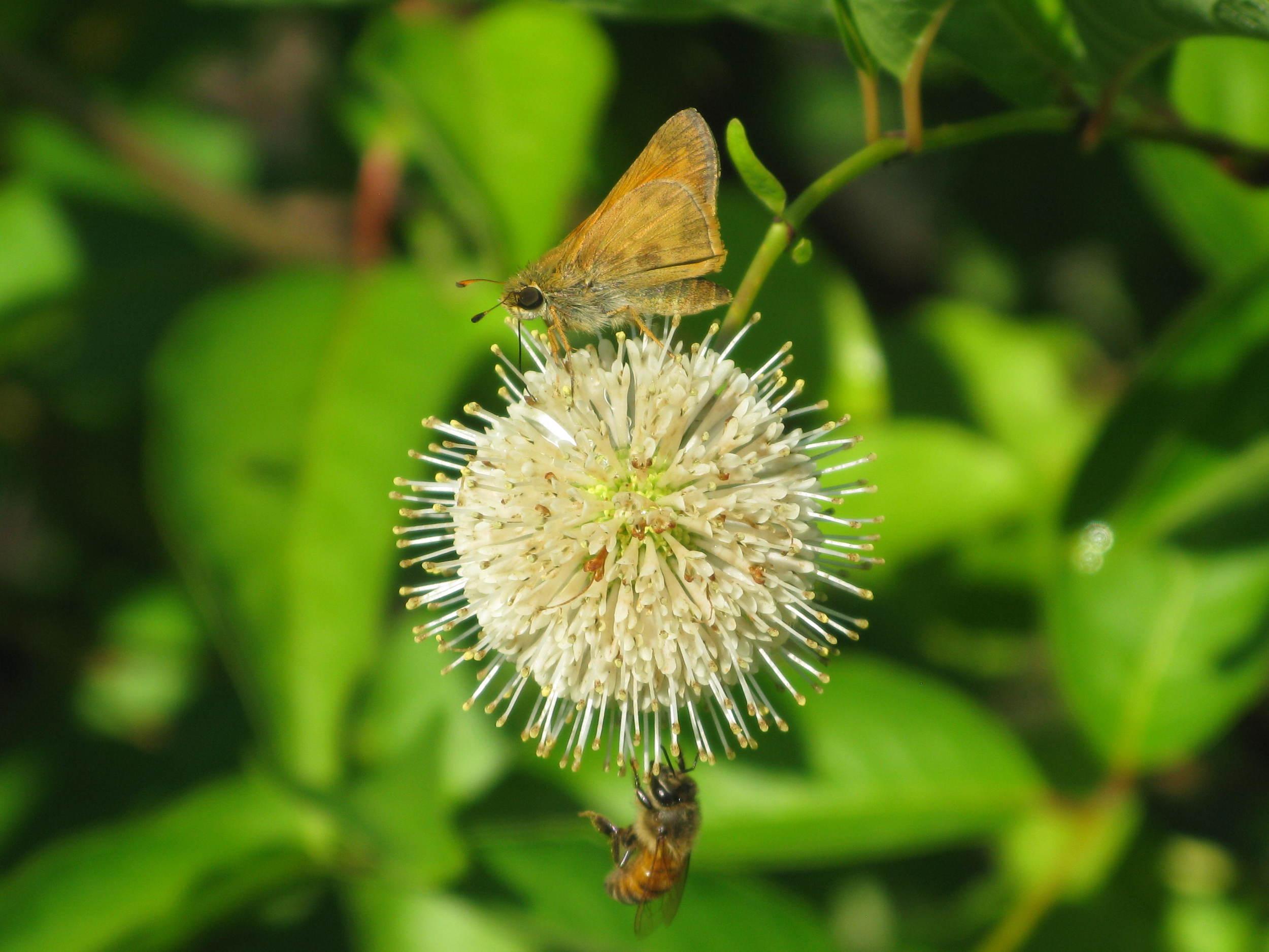 Cephalanthus_occidentalis.jpg