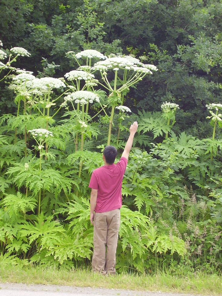 Mature Giant Hogweed in bloom.photo source: paradisexpress.blogspot.com