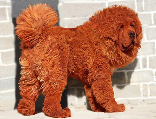 """'Big Splash"""" the Tibetan Mastiff"""