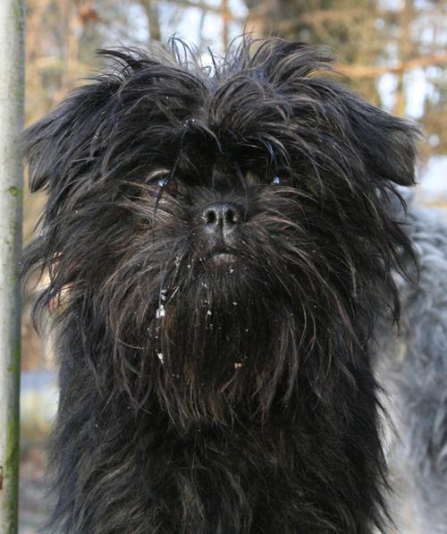 photosource: breedsofsmalldogs.blogspot.com
