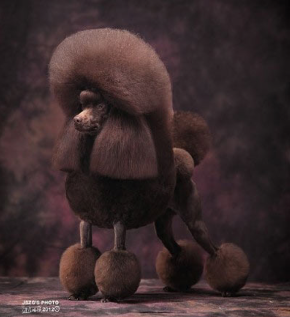 London the champion poodle with his crazybananas continental haircut. Shanksh, ants!!