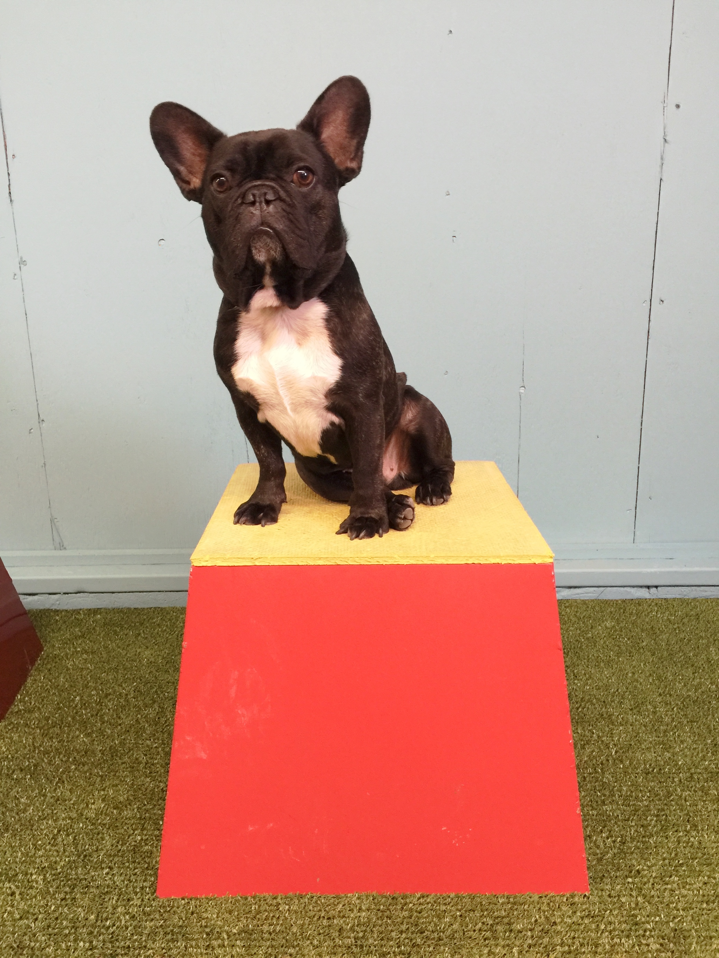 TA DA!! Check it out, you guys!! It is me, Archie Brindleton poserating onna teensy wooden hill!! Yup!! The ULTIMUTTS Stunt Dog show use these when they are doing shows and stuff!! ..............