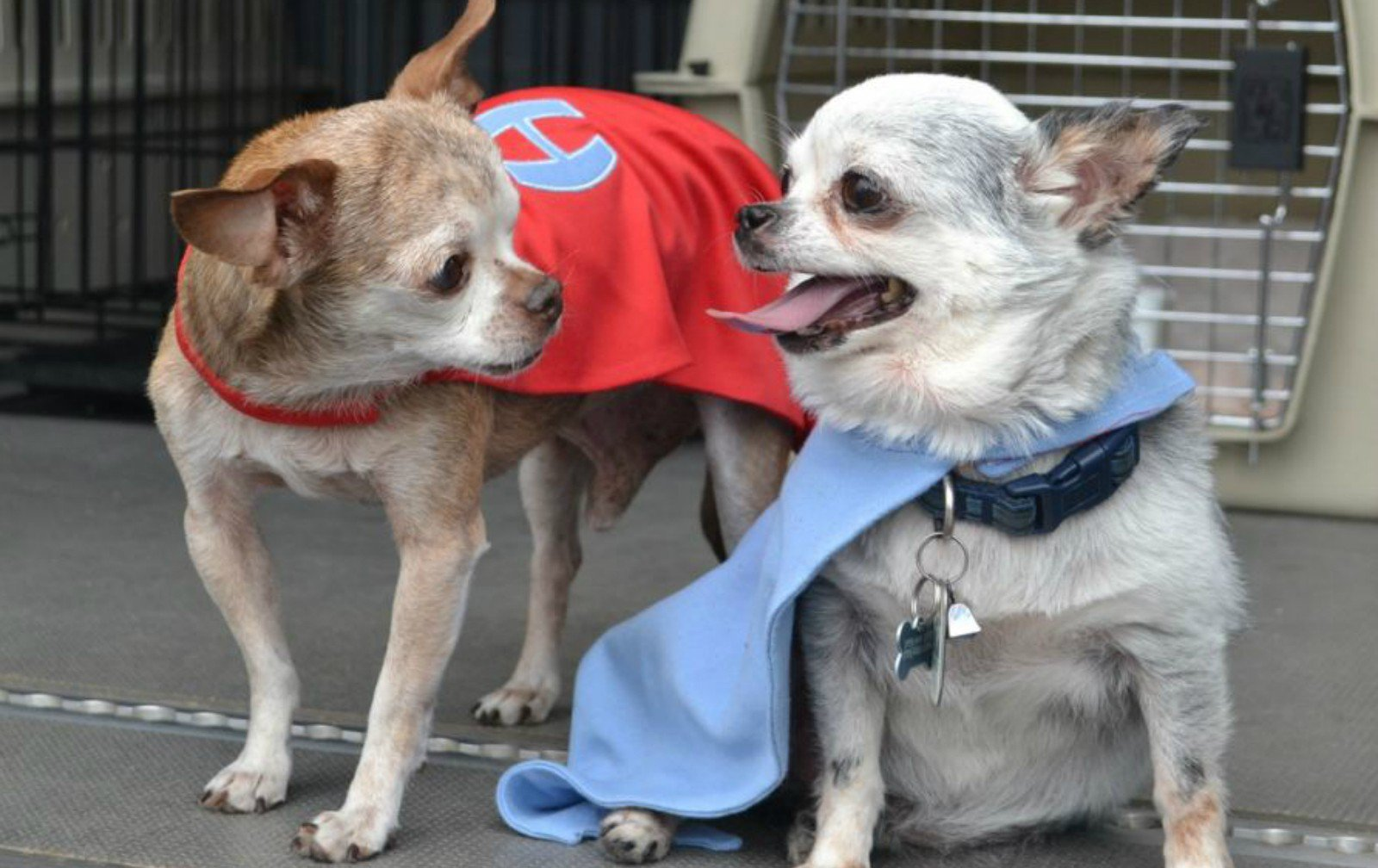 Harley and Teddy in their sooperhero capes!! - photo from Harley's Facebook page - click to visit